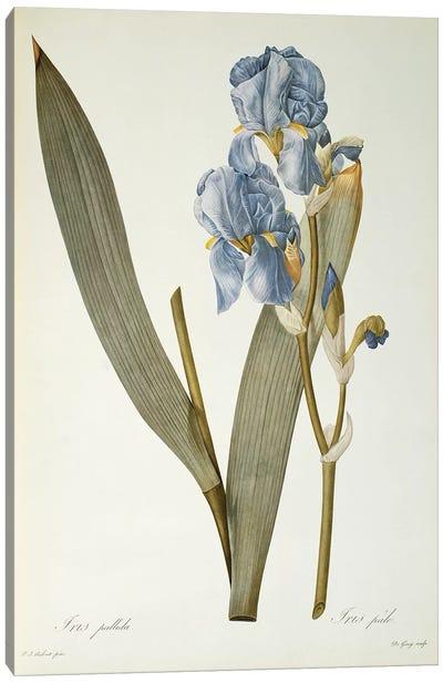 Iris Pallida, from `Les Liliacees', 1812  Canvas Art Print