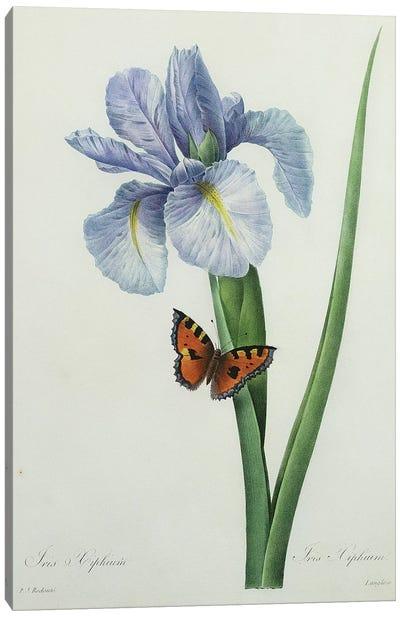 Iris xiphium, engraved by Langlois, from 'Choix des Plus Belles Fleurs', 1827  Canvas Art Print