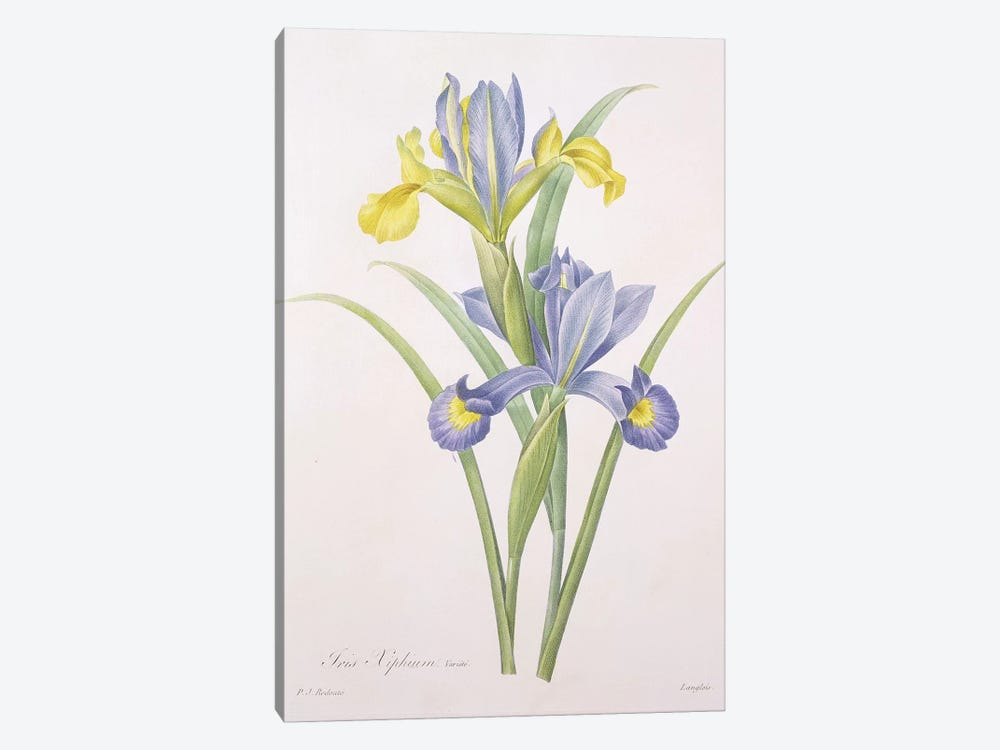 Iris xiphium, variety, engraved by Langlois, from 'Choix des Plus Belles Fleurs', 1827  1-piece Canvas Wall Art