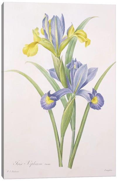 Iris xiphium, variety, engraved by Langlois, from 'Choix des Plus Belles Fleurs', 1827  Canvas Art Print