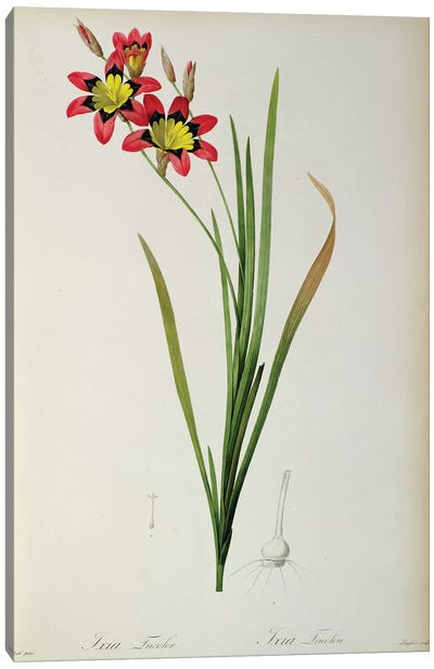 Ixia Tricolor, from `Les Liliacees', 1805  Canvas Art Print