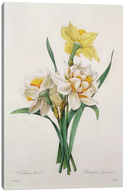 Narcissus gouani , engraved by Bessin, from 'Choix des Plus Belles Fleurs', 1827  Canvas Art Print