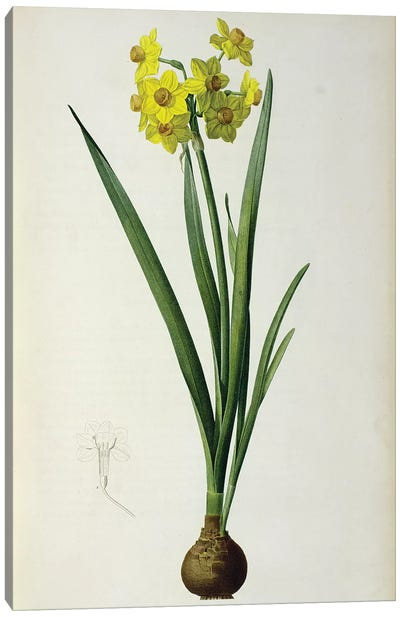 Narcissus Lazetta, from `'Plantae Selectae' Canvas Art Print