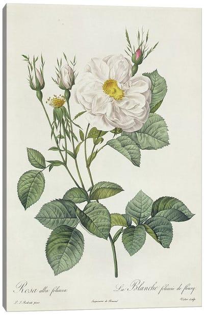 Rosa Alba Foliacea Canvas Art Print