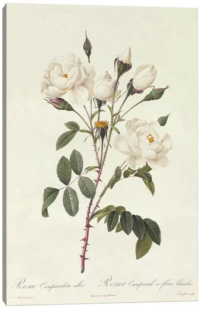 Rosa Campanulata Alba Canvas Art Print