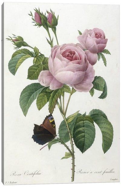 Rosa Centifolia, engraved by François Langlois, from Choix Des Plus Belle Fleurs et des Plus Beaux Fruits, 1827  Canvas Art Print