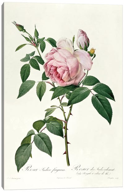 Rosa chinensis and Rosa gigantea, from 'Les Roses', 1817 Canvas Art Print