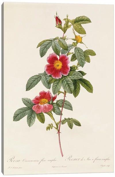 Rosa Cinnamomea Flore Simplici Canvas Art Print