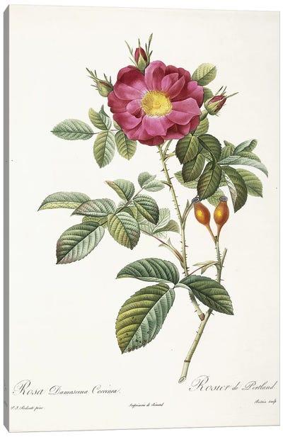 Rosa Damascena Coccina , 1817-1824  Canvas Art Print