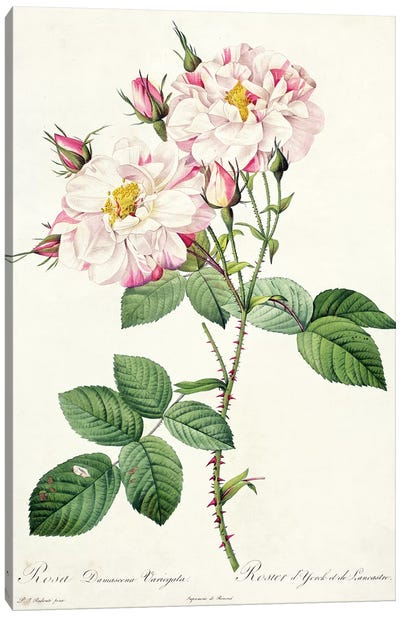 Rosa damascena variegata , engraved by Bessin, from 'Les Roses', 1817-24  Canvas Art Print