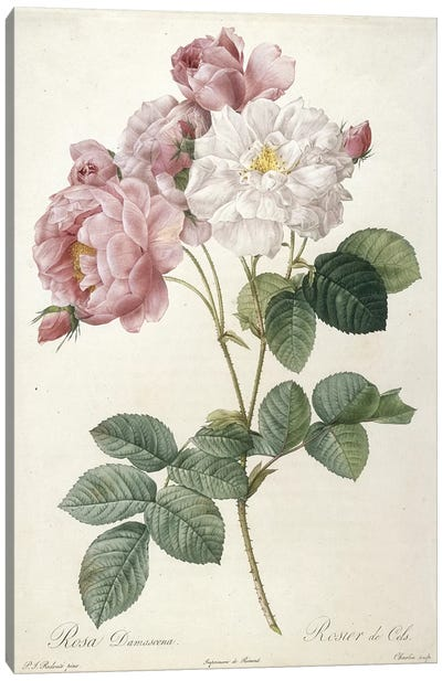 Rosa Damascena, Rosier de Cels, engraved by Charlin, from Les Roses, 1817-24  Canvas Art Print