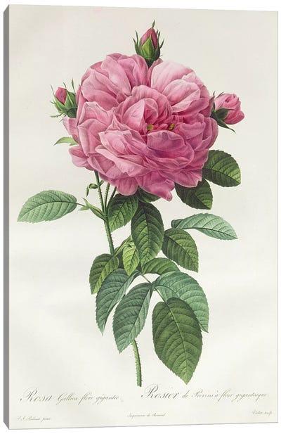 Rosa Gallica Flore Giganteo Canvas Art Print
