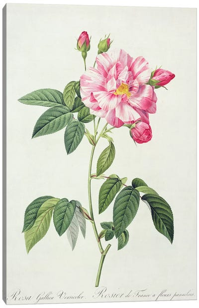 Rosa gallica versicolor , engraved by Langlois, from 'Les Roses', 1817-24  Canvas Art Print
