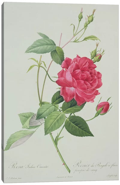 Rosa indica cruenta , engraved by Langlois, from 'Les Roses', 1817-24  Canvas Art Print