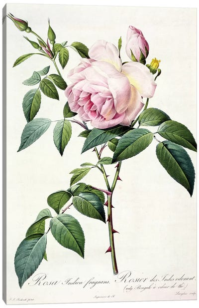 Rosa Indica Fragrans, engraved by Langlois, published by Remond  Canvas Art Print