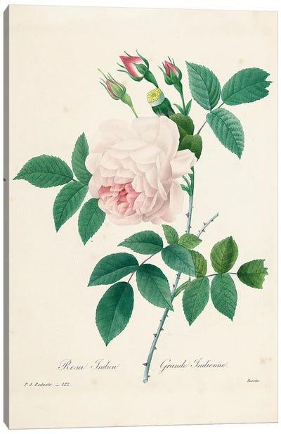 Rosa Indica, engraved by Bessin, from 'Choix des Plus Belles Fleurs et des Plus Beaux Fruits', Vol. I, 1827-33  Canvas Art Print