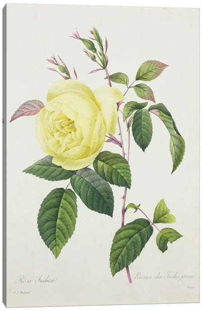 Rosa indica, engraved by Bessin, from 'Choix des Plus Belles Fleurs', 1827  Canvas Art Print