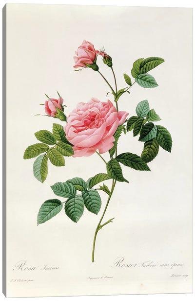 Rosa Inermis Canvas Art Print