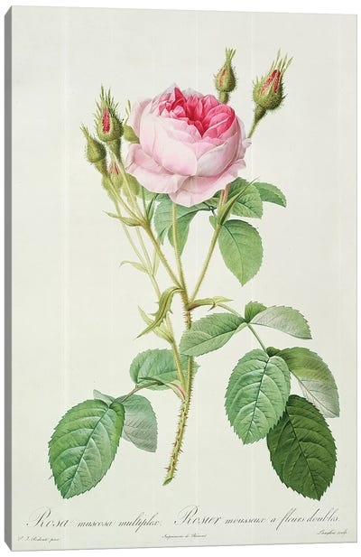 Rosa muscosa multiplex , engraved by Langlois, from 'Les Roses', 1817-24  Canvas Art Print