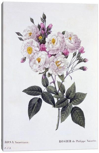 Rosa Noisettiana, published 1824-26  Canvas Art Print