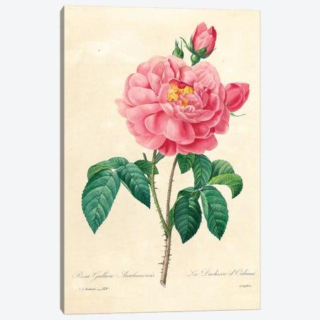 The Duchess of Orleans Rose, 1827-33  Canvas Print #PRE56} by Pierre-Joseph Redouté Canvas Artwork