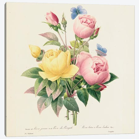 Variety of Yellow Roses and Bengal Roses, 1827-33  Canvas Print #PRE58} by Pierre-Joseph Redouté Art Print