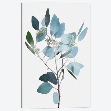 Misty Eucalyptus II Canvas Print #PRM173} by Marcus Prime Canvas Print
