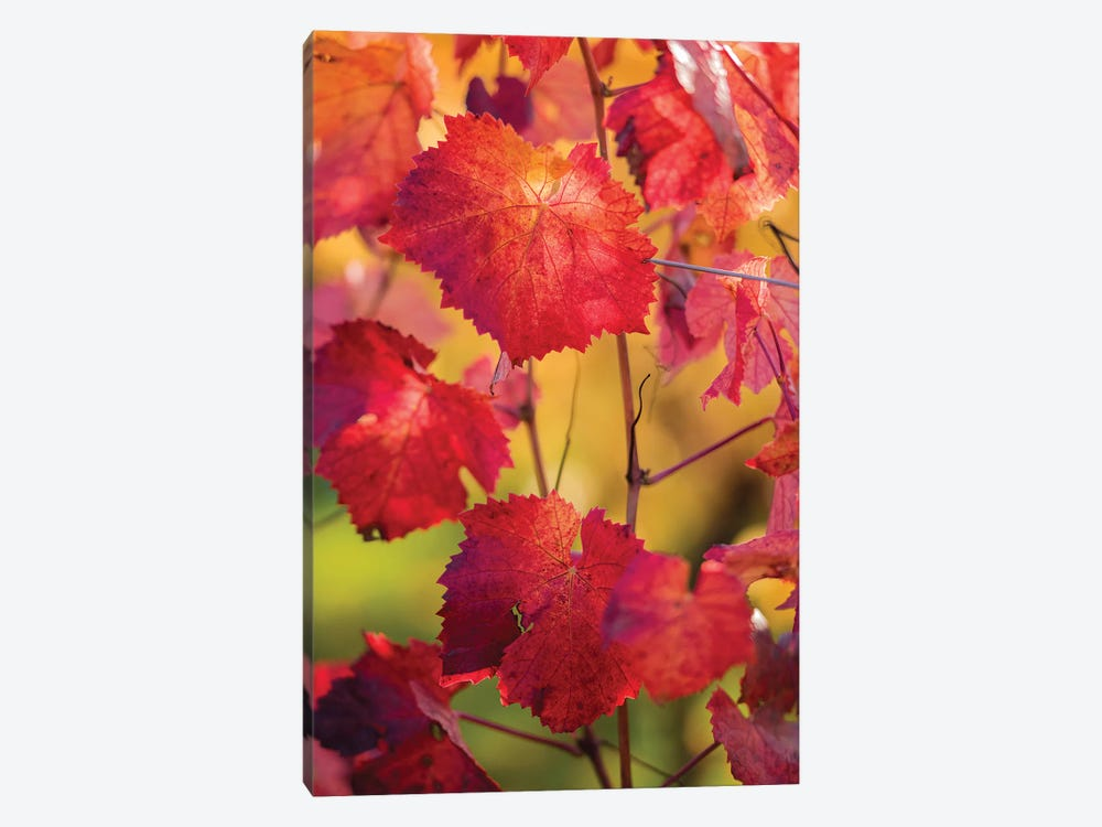 Light In The Vine Leaves by Philippe Sainte-Laudy 1-piece Canvas Art