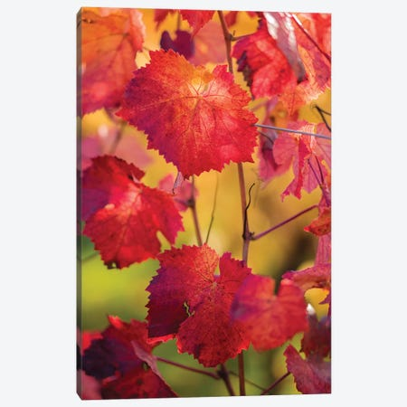 Light In The Vine Leaves Canvas Print #PSL100} by Philippe Sainte-Laudy Art Print
