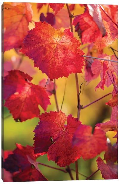 Light In The Vine Leaves Canvas Art Print