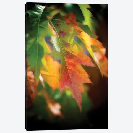 Oak Leaves Canvas Print #PSL121} by Philippe Sainte-Laudy Canvas Art Print