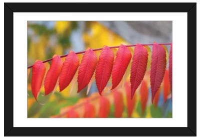 Red Leaves Of A Virginia Sumac Framed Art Print
