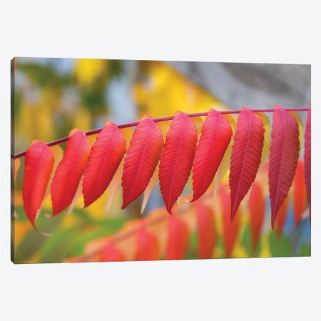 Red Leaves Of A Virginia Sumac Canvas Print #PSL137} by Philippe Sainte-Laudy Canvas Print