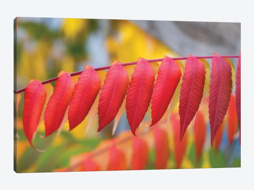 Red Leaves Of A Virginia Sumac by Philippe Sainte-Laudy 1-piece Canvas Artwork