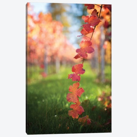 Red Vine Leaves Canvas Print #PSL140} by Philippe Sainte-Laudy Art Print