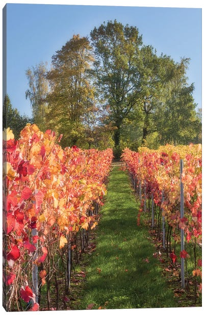 The Vines In Alsace Canvas Art Print