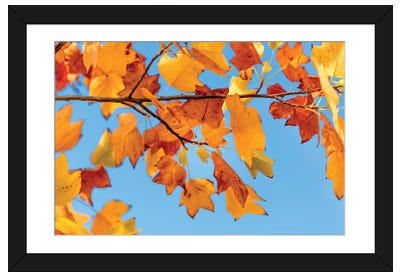 Tulip Tree Of Virginia Framed Art Print