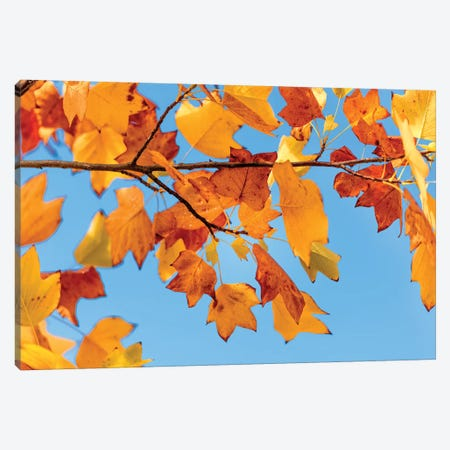 Tulip Tree Of Virginia Canvas Print #PSL171} by Philippe Sainte-Laudy Canvas Art