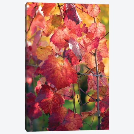 Vine Leaves In Autumn Canvas Print #PSL176} by Philippe Sainte-Laudy Art Print