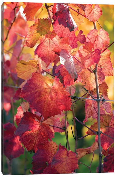 Vine Leaves In Autumn Canvas Art Print
