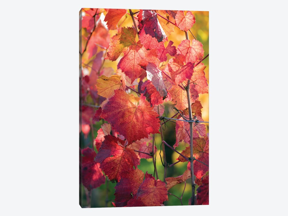 Vine Leaves In Autumn 1-piece Art Print