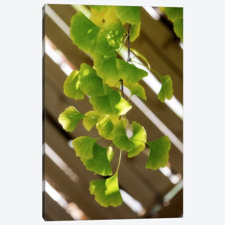 Branch Of Ginkgo Canvas Print #PSL37} by Philippe Sainte-Laudy Canvas Artwork