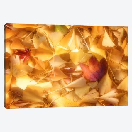 Fallen Ginkgo Leaves Canvas Print #PSL63} by Philippe Sainte-Laudy Canvas Art