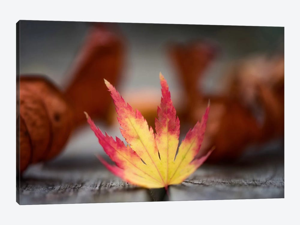 Featured Maple Leaf by Philippe Sainte-Laudy 1-piece Canvas Print
