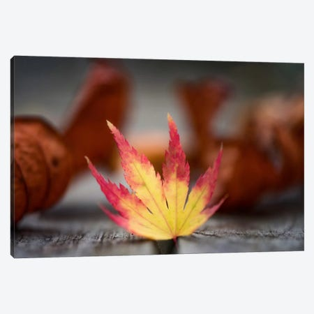 Featured Maple Leaf Canvas Print #PSL65} by Philippe Sainte-Laudy Canvas Art Print
