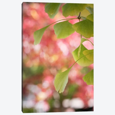 Ginkgo And Pink Pearls Canvas Print #PSL69} by Philippe Sainte-Laudy Canvas Art