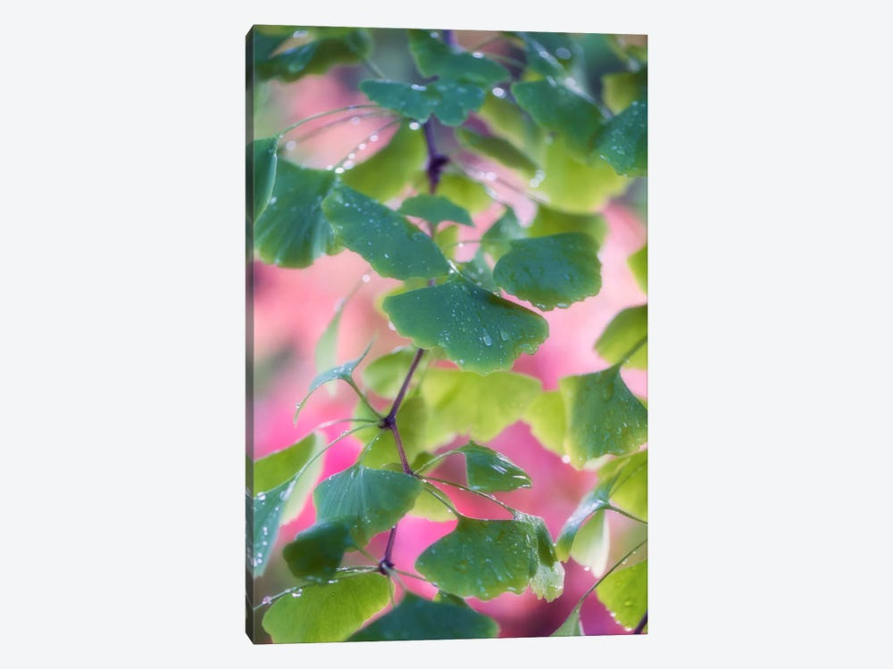 Ginkgo Leaves With Rain Drops by Philippe Sainte-Laudy 1-piece Canvas Wall Art