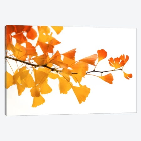 Ginkgo's Subtle Shades Canvas Print #PSL76} by Philippe Sainte-Laudy Canvas Art