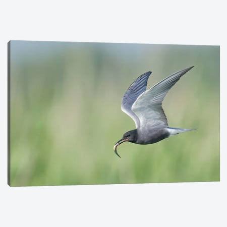 Black Tern Bringing Fish Canvas Print #PSM10} by Pascal De Munck Canvas Art