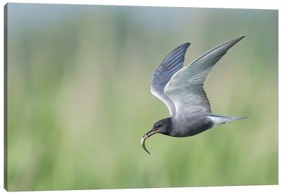 Black Tern Bringing Fish Canvas Art Print